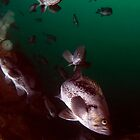 Undersea Discoveries; Puget Sound by Greg Amptman