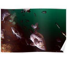 Black Rock Fish Poster