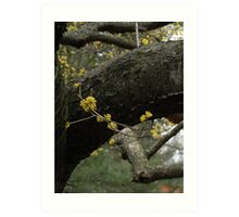 Yellow Blooms on Maple Tree Art Print