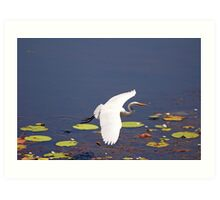 Intermediate Egret at Tyto Wetlands Ingham Art Print