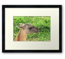 Llama Head Framed Print
