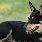 "Australian Kelpie ""Luack Black Betty"" by rajamis"