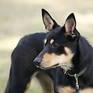 "Australian Kelpie ""Luack Black Betty"" II by rajamis"