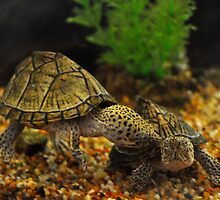 Turttle Love by Jeannie Peters