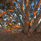 Red Gum by Peter Hammer