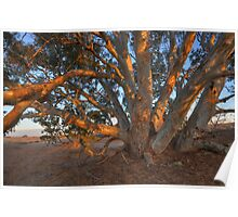 Red Gum Poster