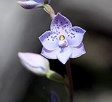 Spotted sun orchid 2 by Cindy McDonald
