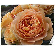 Orange Ruffles Roses Poster