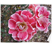 Pink with White Edges Poster