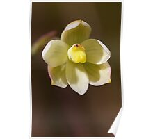 Twisted Sun Orchid - Thelymitra flexuosa Poster