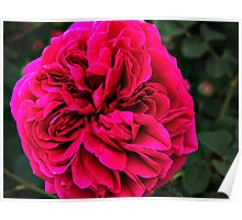 Ruffly Red Rose Poster