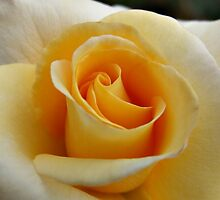 Yellow Rose by Harvey Schiller