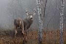 Buck - White-tailed Deer by Jim Cumming