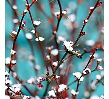 spring snow on barberry Photographic Print