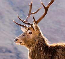 Stag by roll6pics