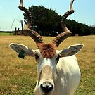 Addax in Captivity by Terence Russell