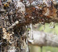 Pine Resin seen at Beaver Flats by Yagdrasill