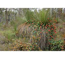 Nature's Decorators - Kennedia coccinea, Coral Vine Photographic Print