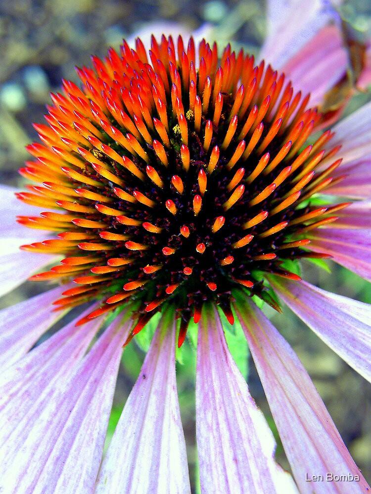Echinacea by Len Bomba