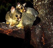 Possums by Arek Rainczuk