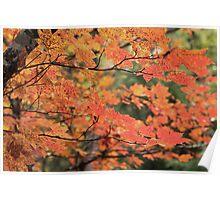 Vine Maple  Poster