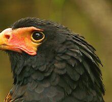Bateleur Eagle...a colorful tree Eagle by kellimays