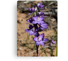 DK Blue (Purple) sun orchids. Canvas Print