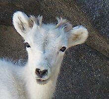 Baby Mountain Goat....Denver Zoo by trueblvr