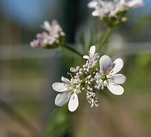 Coriander Flower by Maryanne Lawrence