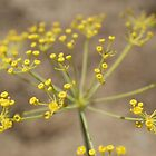 Dill Flower by Maryanne Lawrence