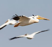 White Pelican 6-2015 by Thomas Young