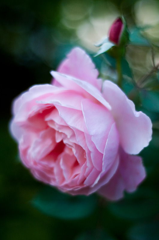 Rose Without Filters by Ilva Beretta