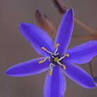 Tufted Blue Lily ..Thelionema caespitosum by Michael Matthews