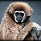 Lar Gibbon - caught white-handed by Maska