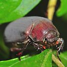 Brown Christmas Beetle by Aaron Murgatroyd