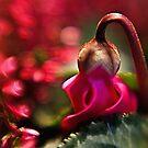 Cyclamen....... by Patriciakb
