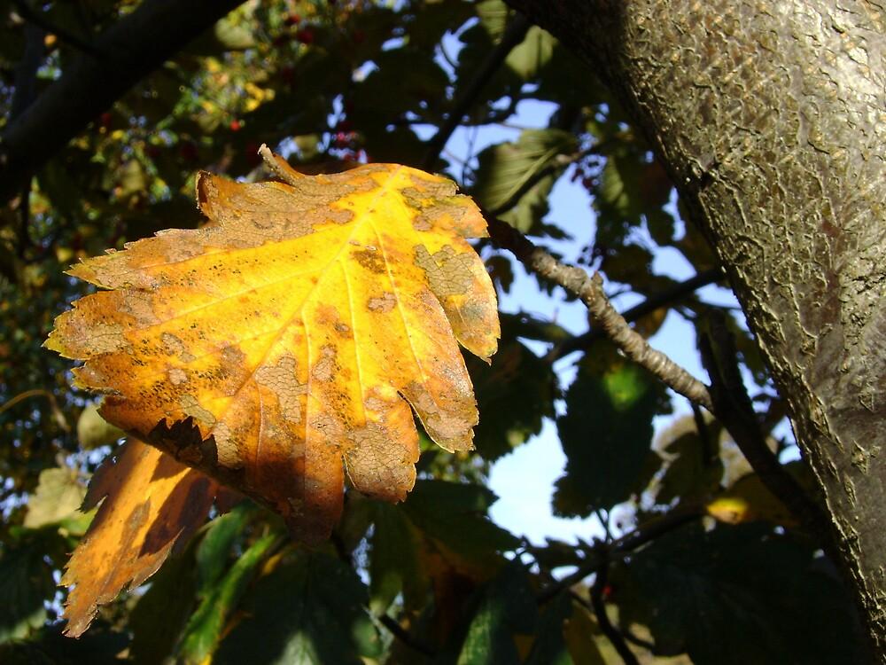 Autumn - yellow leaf close-up, Burntisland by armadillozenith