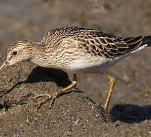 The Pectoral Sandpiper 03 by DigitallyStill
