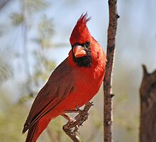 Northern Cardinal by LauraStaff