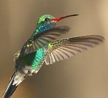 Hummingbird, Broad-billed, male by tonybat
