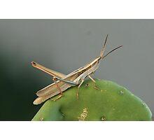 Grasshopper, Two-striped Mermeria Photographic Print