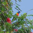 Rainbow Lorikeet by Mike Paget