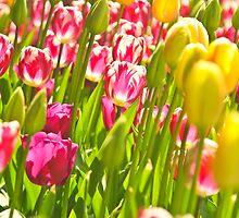 Dutch Tulips by DonW