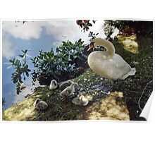 Mother Swan and Cygnets. Poster