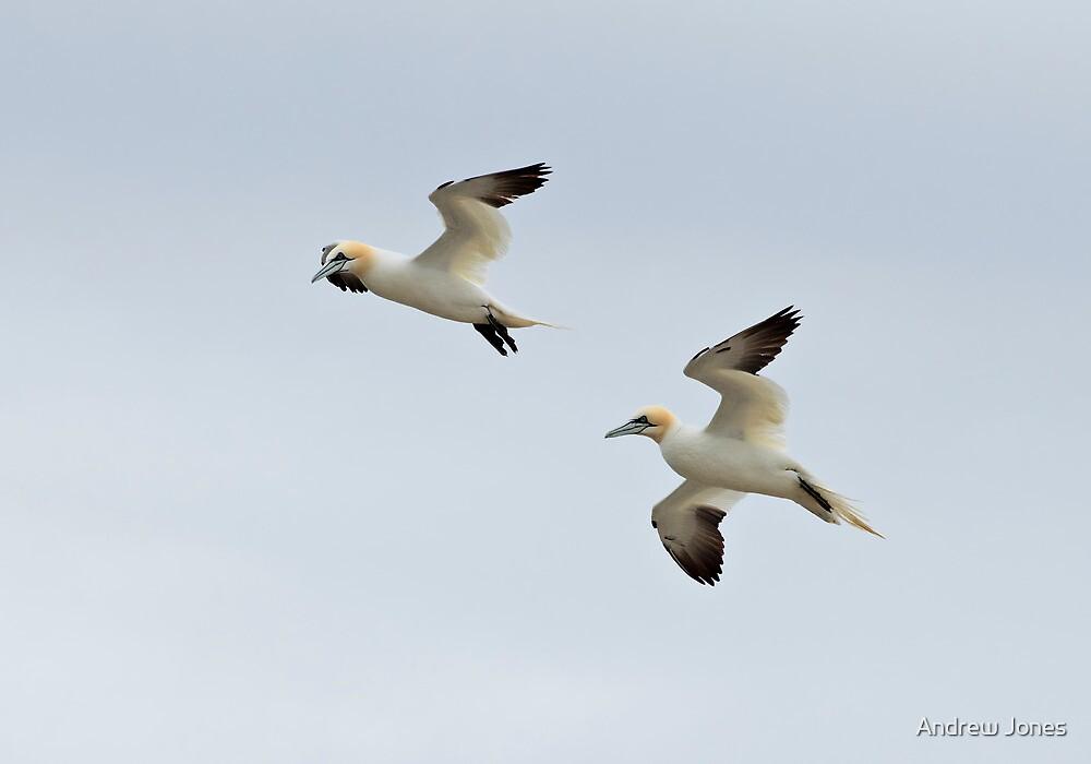 Gannets in flight by Andrew Jones