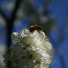 Honey Bee by Karen Doidge