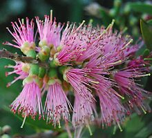 Pink Bottle Brush by MissyD