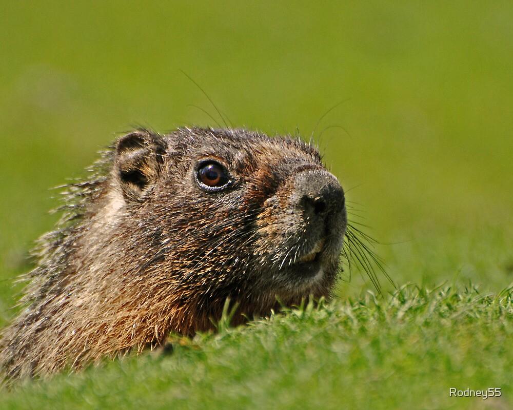 Mr Marmot by Rodney55