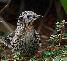 Yellow Wattle Bird by UncaDeej