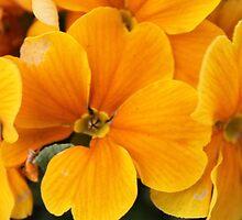 Yellow Primula - Abingdon, Oxfordshire by StinaStone